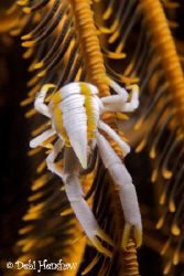 Elegant Squat Lobster uncropped by Debi Henshaw