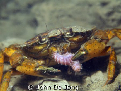 Eathing Crab. It looks like he loves worms..... by John De Jong