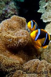 Blue Striped Clownfish-Palau by Richard Goluch