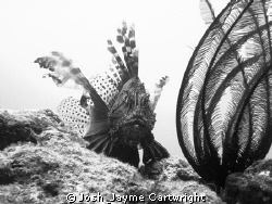 B/W Lion Fish with Crinoid at Meada Point. by Josh & Jayme Cartwright
