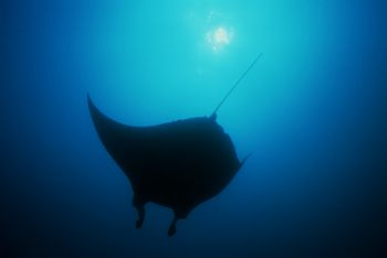 Manta Ray , Mozambique.F100 & 14mm by Gregory Grant