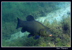 A tench (Tinca tinca) anyone with an idea why this fish i... by Sven Tramaux