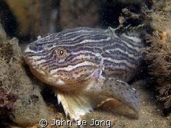 Liparis liparis comes every winter to put there eggs into... by John De Jong