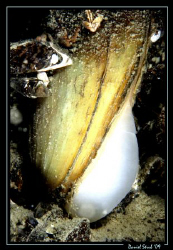 Anodonta cygnea - swan mussel - the natural filter of our... by Daniel Strub