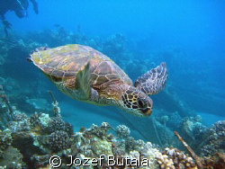 ...in motion,green sea turtle,pic taken with camcorder by Jozef Butala