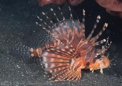 Spotfin lionfish. Lembeh. D200, 60mm. by Derek Haslam