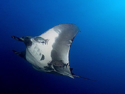 Pacific manta ray at the Boiler at San Benedicto.  E-300 ... by Thomas Roesler