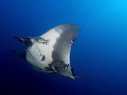 Pacific manta ray at the Boiler at San Benedicto.  E-300 ... by Thomas Roesler