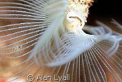 White tufted worm by Alan Lyall