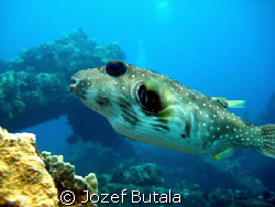 Stripebelly Puffer,Panasonic PV-GS250 by Jozef Butala