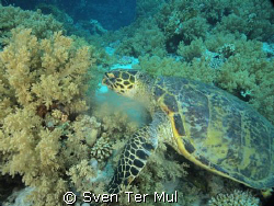 eating sea turtle by Sven Ter Mul