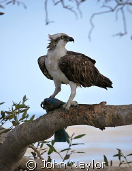 Osprey with parrot fish taken in mangrove swamp southern ... by John Naylor