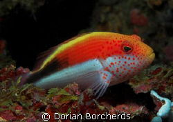 Freckled Hawkfish by Dorian Borcherds