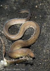Snake eel. Lembeh. D200, 60mm. by Derek Haslam