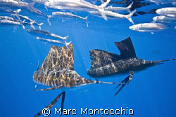 Pair of sail fish ball bait, two of around sixty fish wor... by Marc Montocchio