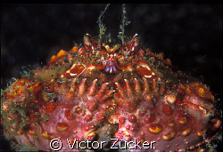 boxer crab by Victor Zucker