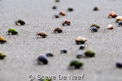 some hermit crabs running towards the ocean at pavones, C... by Steve De Neef