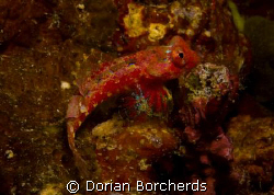 Dragonet with beautiful fins by Dorian Borcherds