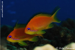 Goldies...they are lovely, aren´t they? by Victor Tabernero