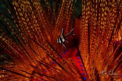 1/160 at f29. 105mm at 00 ISO. Baby Bangai Cardinal Fish... by Julian Cohen