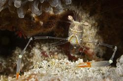 Periclimenes tenuipes - Long Arm Shrimp by Michael Henke