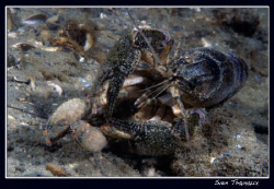 Mating crays, Geneva's lake is hot! by Sven Tramaux
