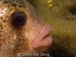 These Cyclopterus lumpus protects his eggs in the backgro... by John De Jong