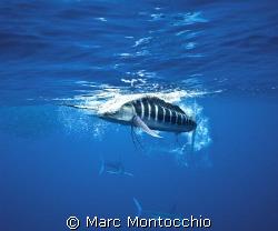 A striped marlin smashes a sardine a few feet off the dom... by Marc Montocchio