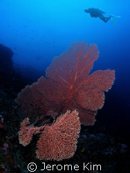 Giant Coral with diver in San agapito point in Verde Island by Jerome Kim