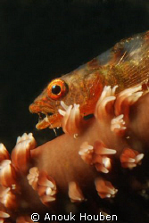 Whip coral goby. Picture taken on the second reef off Neg... by Anouk Houben