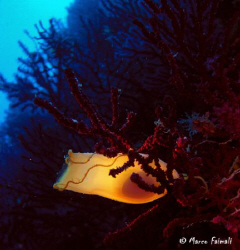 The egg-case of spotted catshark (Scyliorhinus