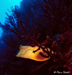 The egg-case of spotted catshark (Scyliorhinus canicula) by Marco Faimali