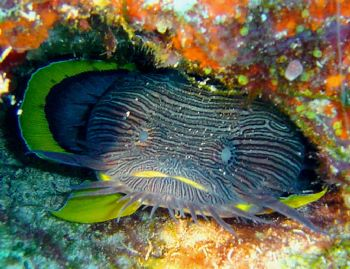 """""""Splendid Toad Fish"""" In Cozumel and only in cozumel... (E... by Yannick Abel-Coindoz"""