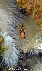 Clownfish in the Majuro Lagoon, Marshall Islands by Debra Burnsworth