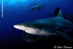 Black Tip Shark by Victor Tabernero