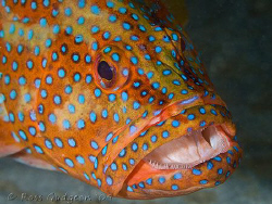 Coral Cod.  Ningaloo Reef, Western Australia.  Canon 50D ... by Ross Gudgeon