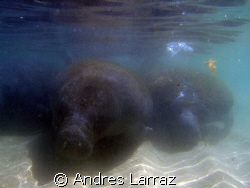 Herd of manatees by Andres Larraz