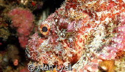 Tasseled scorpionfish by Alan Lyall