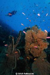 Diver cruising over gorgonian forest at Ras Umm Sid, Shar... by Erich Reboucas