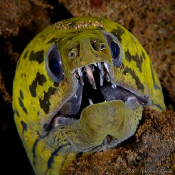 Yellowhead Moray Eel by Michael Henke