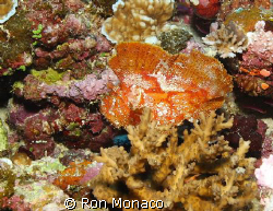 Leaf Fish taken in September 2008 diving out of Taveuni, ... by Ron Monaco