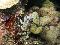 a decorator crab on a night dive, Canon G7 by Budy Lukman