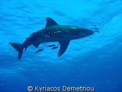 White tip shark.Taken with a nikon slr digital 7900 in a ... by Kyriacos Demetriou