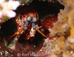 Could be an alien, mantis shrimp or slipper lobster......... by Ron Monaco