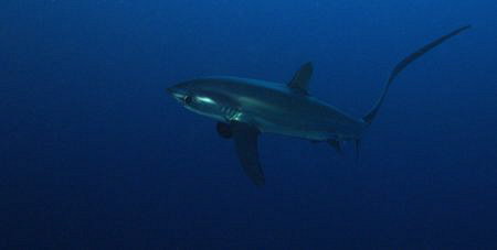Thresher Shark at Small Brother. Taken with Canon G9 and ... by James Dawson