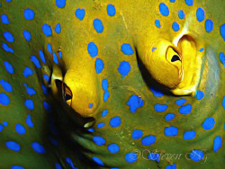 Top View close up of a blue spotted lagoon ray.