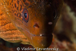 """Tell me when to say """"cheese"""". A very curious giant moray... by Vladimir Levantovsky"""
