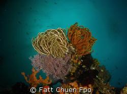 Bunch of Feather Stars, Anilao, Philipines. Canon G9, Ino... by Fatt Chuen Foo