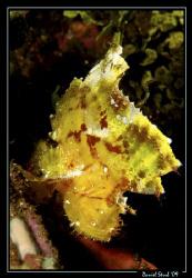 Scorpion leaf-fish. just great fun :-)) by Daniel Strub
