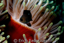 Domino Damselfish and anemone. Ap. set to make the fish ... by Erich Reboucas